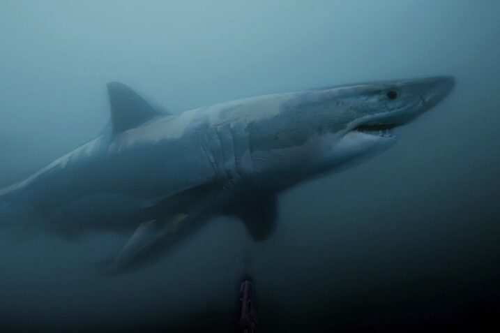 scariest great white video on the internet